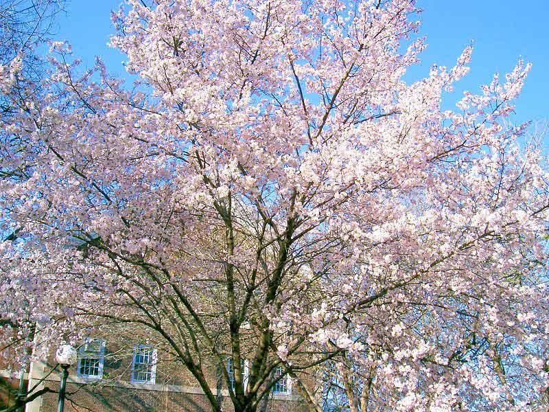 イリノイ大学の桜